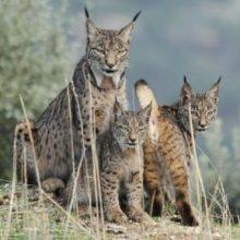 The endangered Iberian lynx (Lynx pardinus)