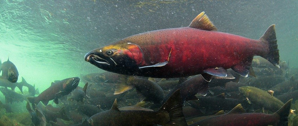 coho salmon in watershed heros exhibit at sequoia park zoo