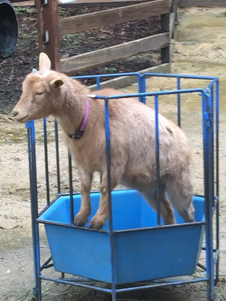 goat in barnyard exhibit at sequoia park zoo