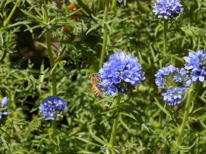 Honeybee pollinating globe gilia flower (note blue pollen on bee!)