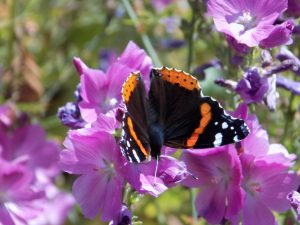 Red admiral feeding on checkerbloom. Photo by Monty Caid.