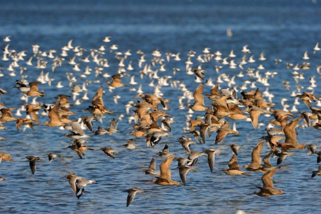 shorebirds in flight over the water
