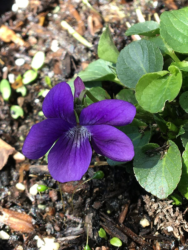 A violet growing—food for Oregon silverspot caterpillars