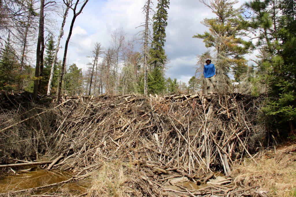 ben goldfarb on a massive beaver dam