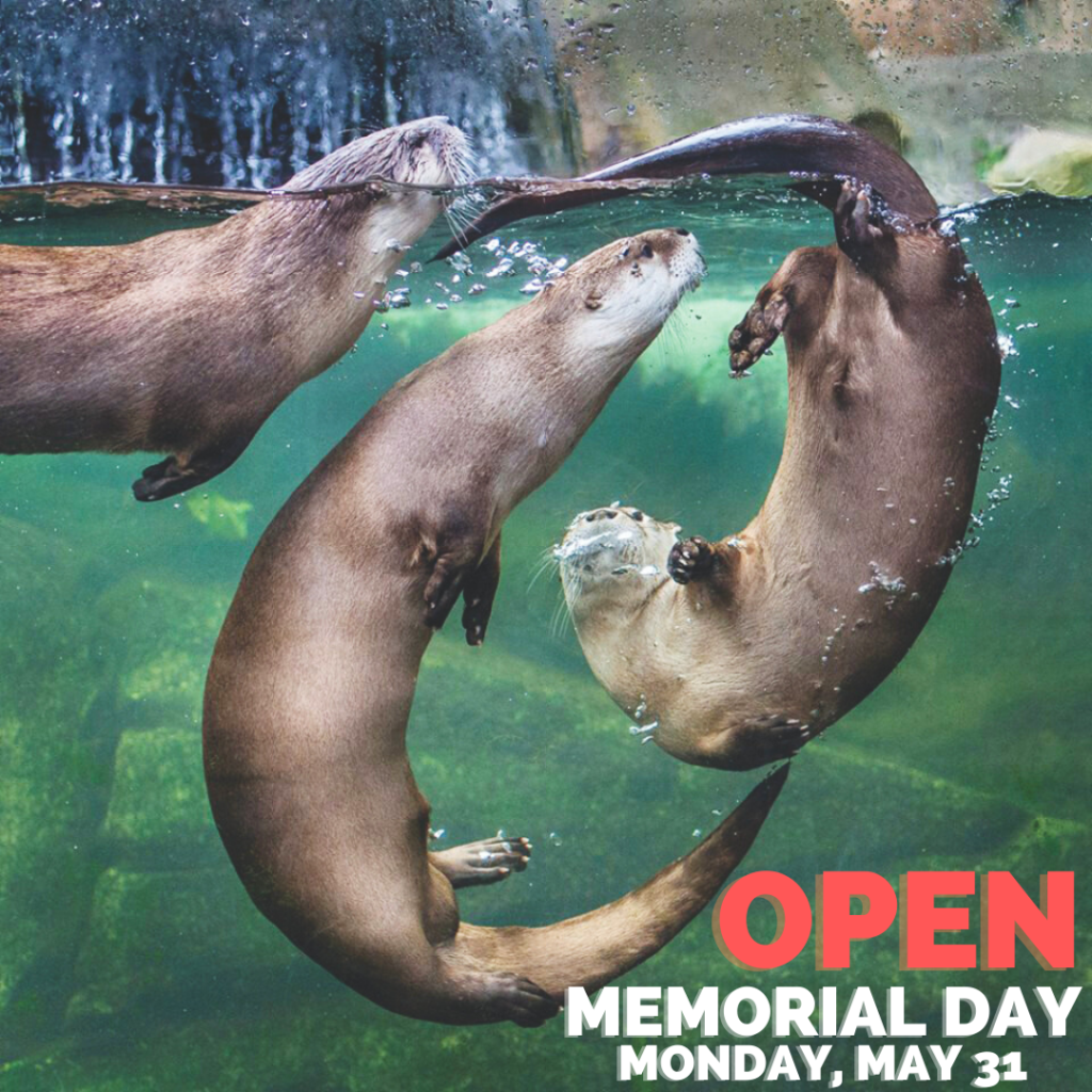 Otters playing at Sequoia Park Zoo, which is open Memorial Day 2021
