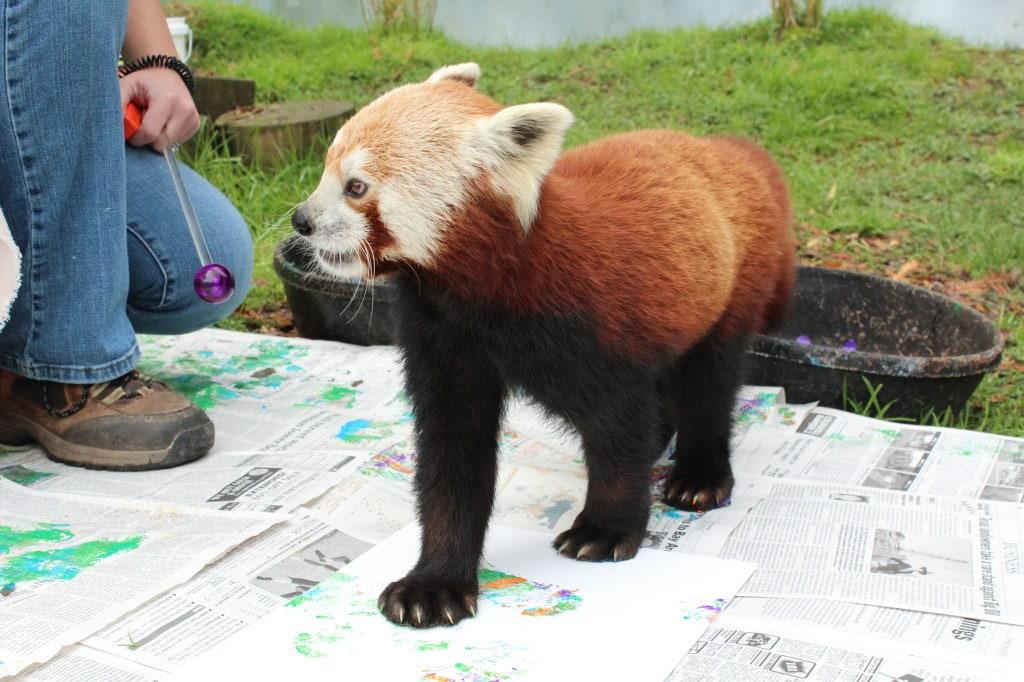 red panda paw painting Credit: Amanda Auston