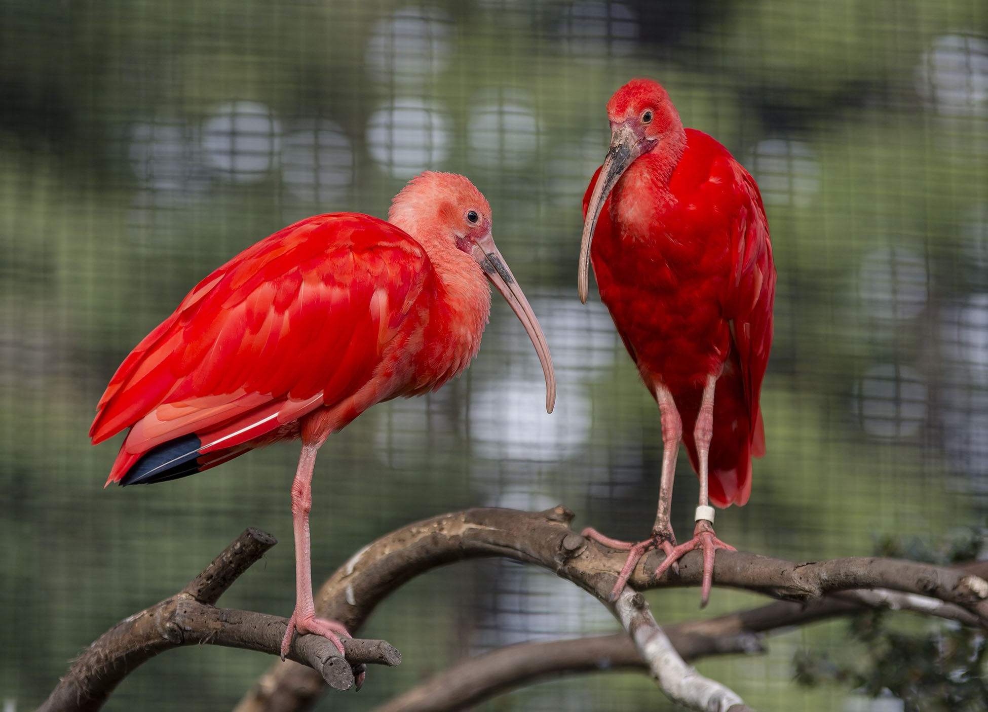 scarlet ibis at sequoia park zoo