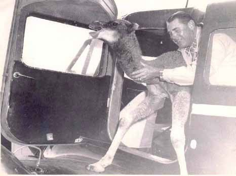 Aviator Les Pierce removing a camel from his airplane in the 1930s